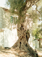 guido_maria_isolabella_paxos_olive_tree_2018.png