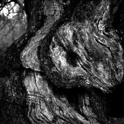 Jean-Manuel Simoes Paxos:Olive Trunk 2 2017, Selenium on gelatin silver print on Forte paper, Developed by photographer, 40x40 cm – 1/9