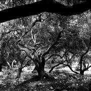 Jean-Manuel Simoes Paxos:Olive Trunk 6 2017, Selenium on gelatin silver print on Forte paper, Developed by photographer, 40x40 cm – 1/9